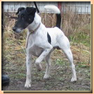 fox terrier smooth